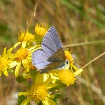 common blue on ragwort